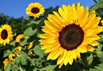 Pachet NutriBASIC pentru floarea soarelui